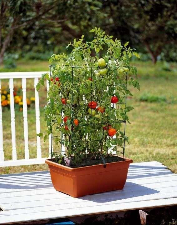 tomates org.jpg