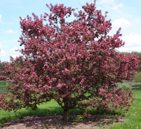 large full crabapple tree with tons of blooms