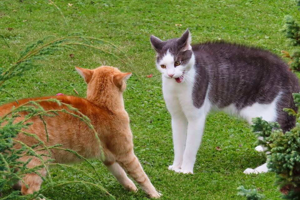 C:\Users\DELL\Downloads\Aggression-Order-Of-Precedence-Fight-Cat-Animals-4513362.jpg