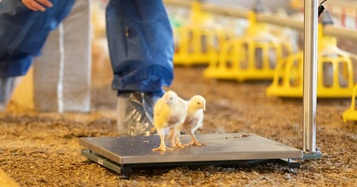 The virtues of monitoring broiler bird weight in real-time | The ...