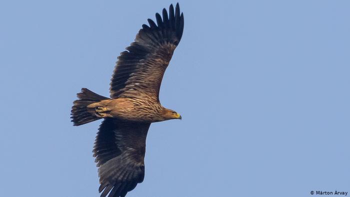 Орел-могильник в небе над Венгрией