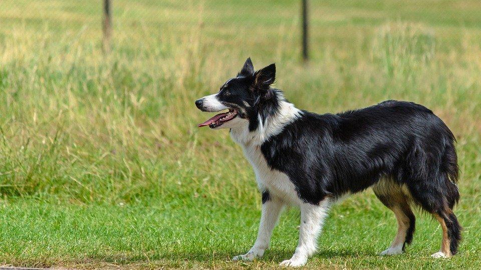 cần để chó border collie vận động thường xuyên