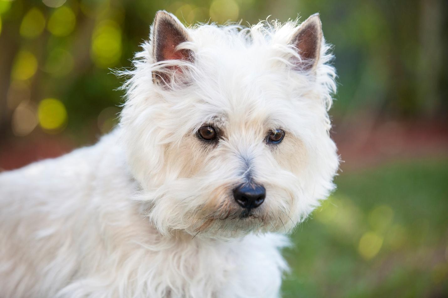 A picture containing dog, white, sitting, mammal  Description automatically generated