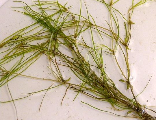 Horned pondweed