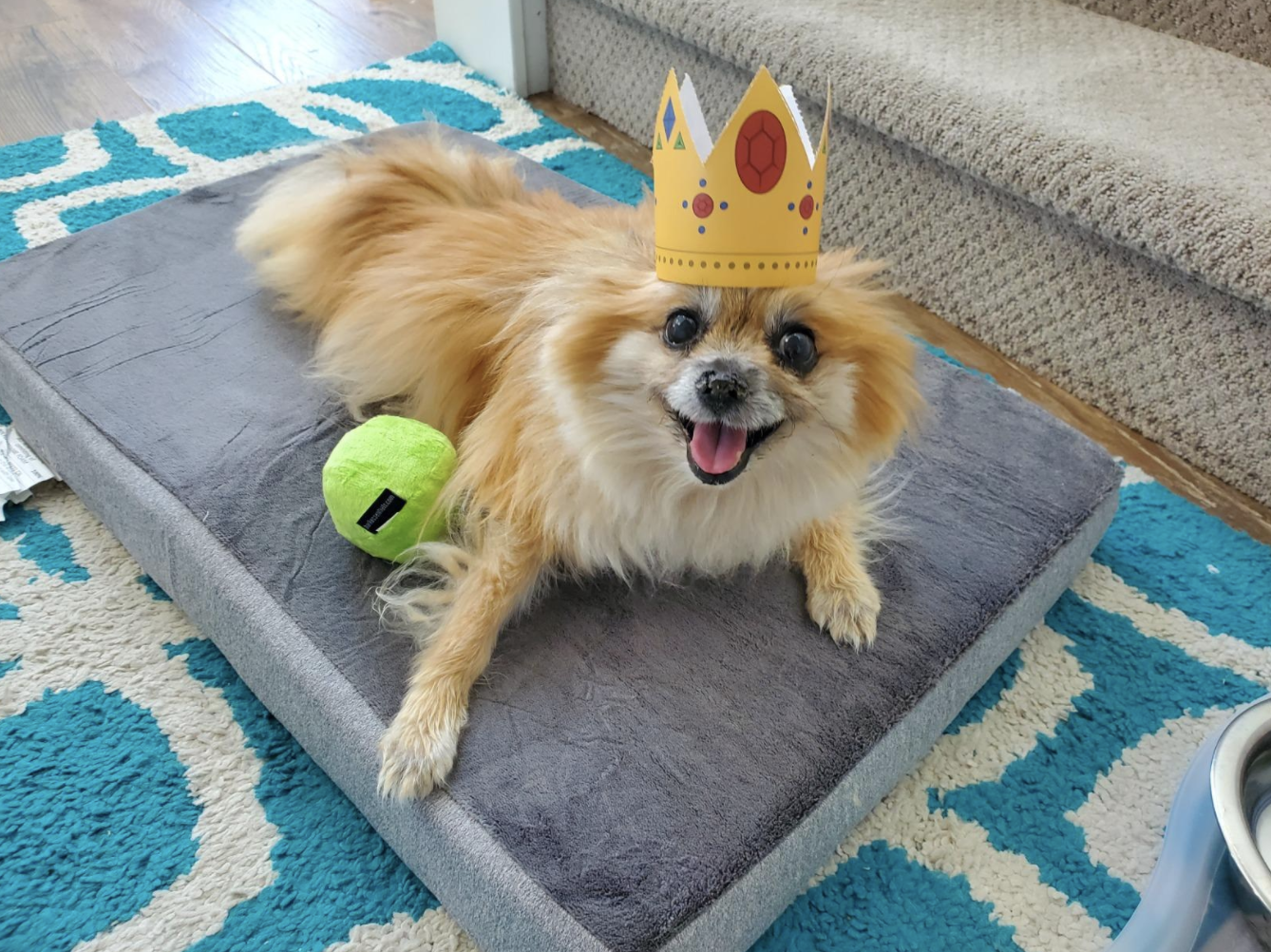 Happy Pomeranian wearing a crown on a gray washable orthopedic dog bed