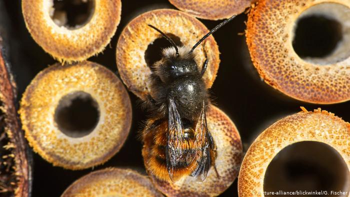 Рыжая осмия - один из видов пчел, фото из архива