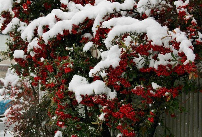 Пираканта под снегом