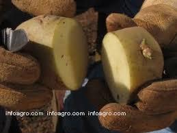 """Resultat d'imatges per a """"patata cortada para siembra"""""""