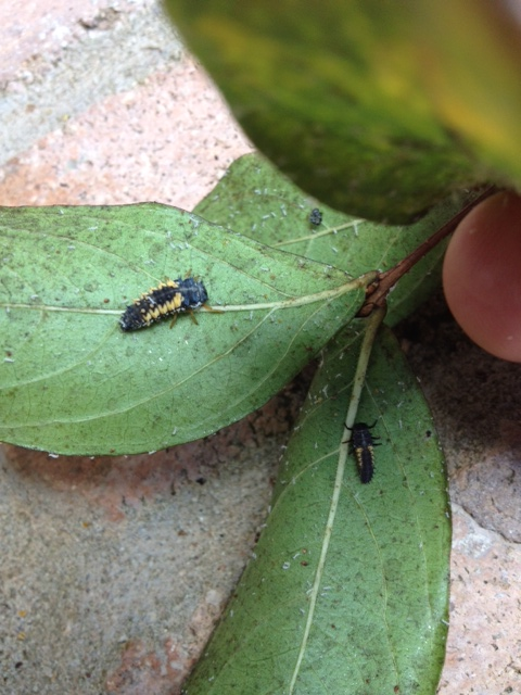 june 39 s lawn pest of the month crapemyrtle aphids the masters lawn