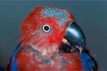 This female eclectus parrot (Eclectus roratus) is losing her normal head and facial feathers, and the follicles are not regenerating due to Psittacine Beak and Feather Disease Psittacine Beak and Feather Disease (PBFD).