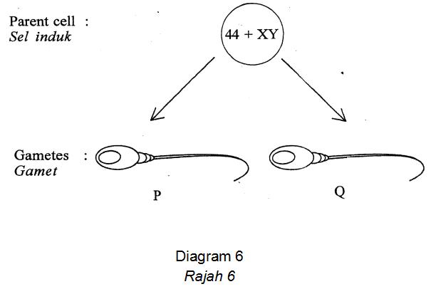 Apakah kandungan kromosom dalam P dan Q?