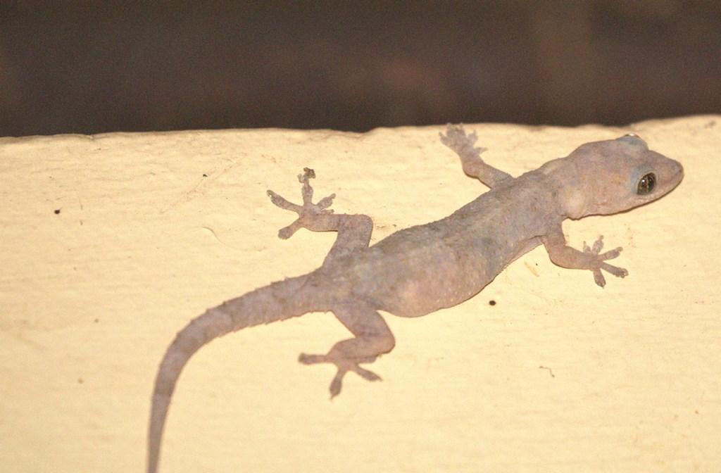 geckosmall (Copy).jpg