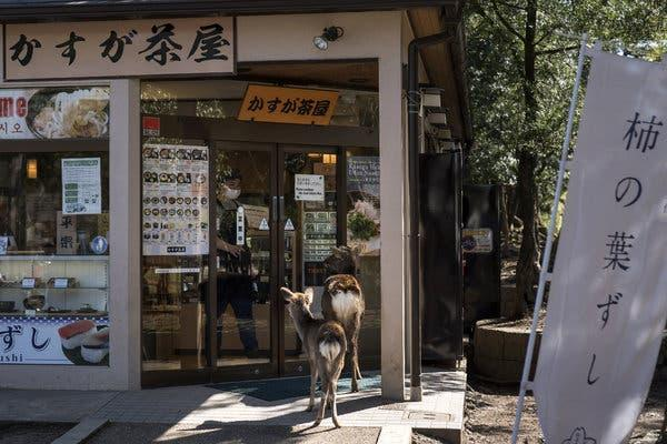 Sika deer have been seen roaming the streets of Nara, Japan, as the number of tourists to Nara Park, where they usually live and are fed, has plummeted.