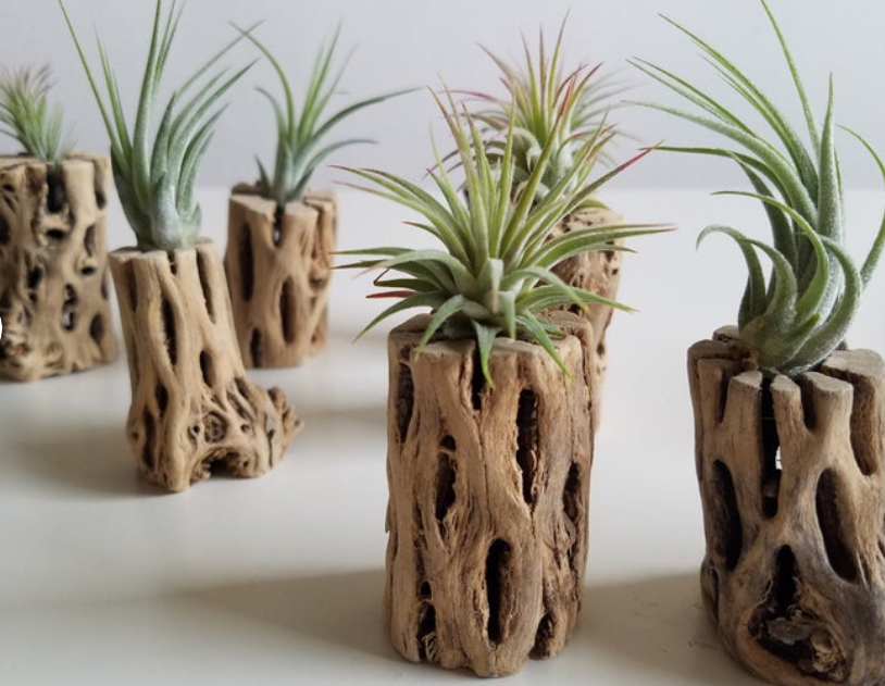 driftwood air plant holders with air plants on top in white office setting