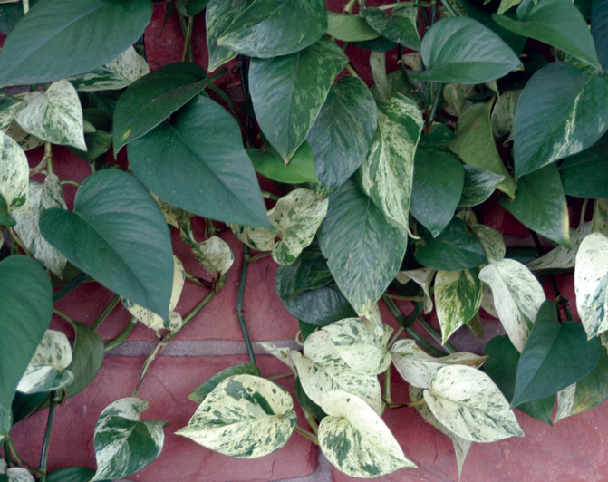 Philodendron scanders (variegated).