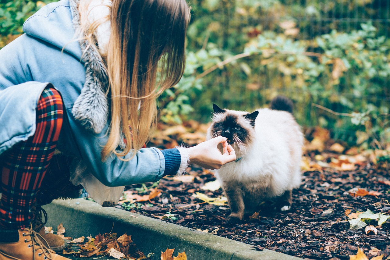 Yound woman feeding a long hair siamese cat outside.