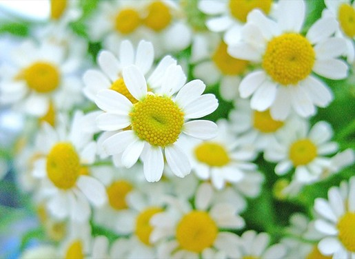 small white daisy flowers photo (1).jpg