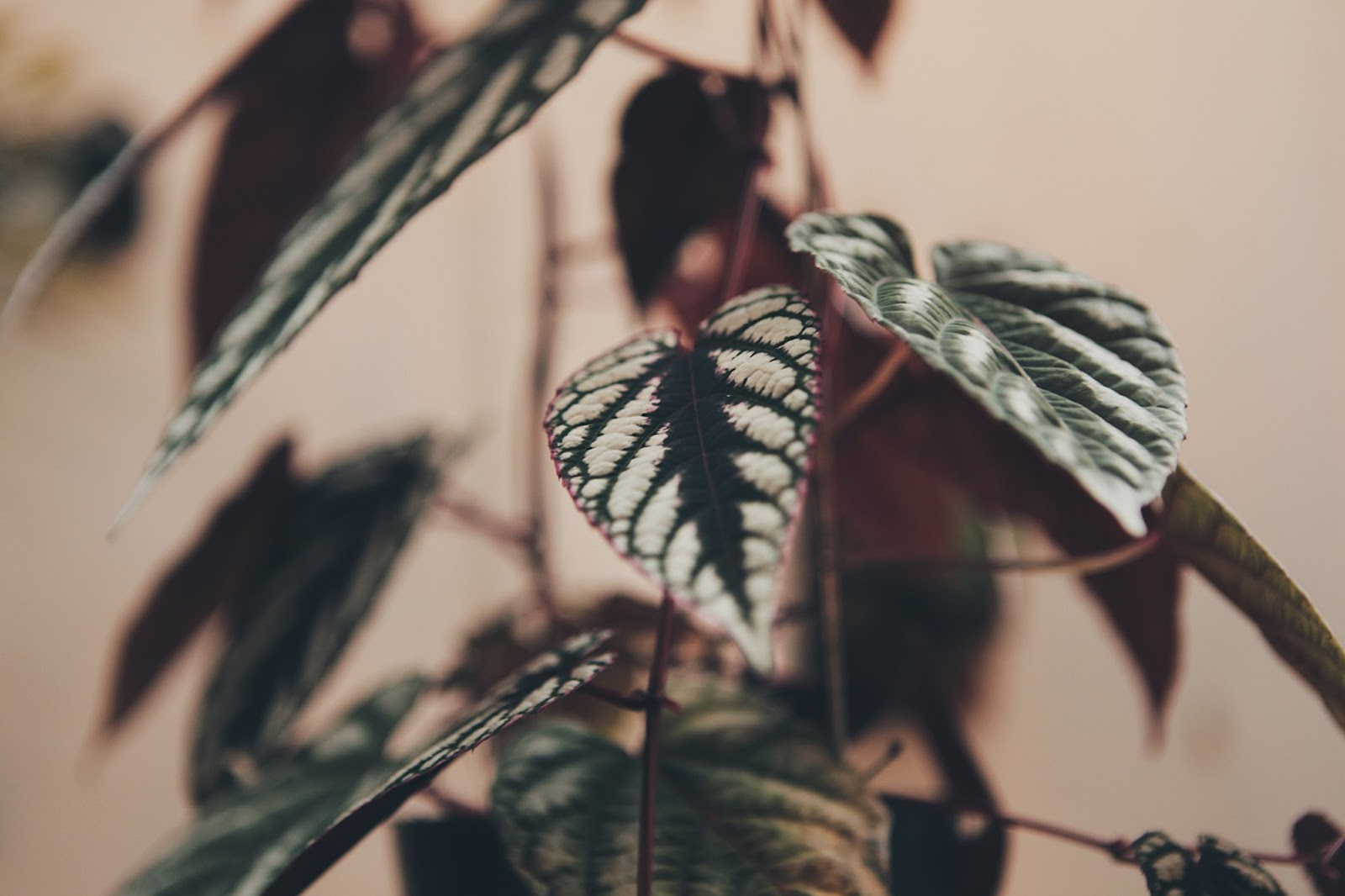 錦葉葡萄 葉面有絨布般的質感,紋路也很立體