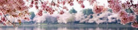 cherry blossoms 7.jpg