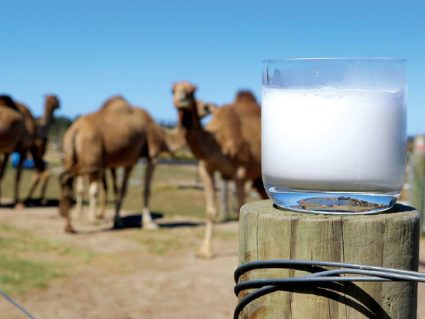 Have You Ever wondered about the benefits of camel milk?