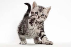 ผลการค้นหารูปภาพสำหรับ แมวอเมริกัน ชอร์ตแฮร์