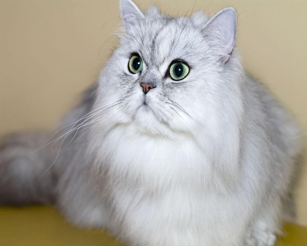 نژادهای مطرح گربه در ایران9
