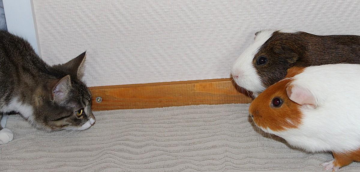 stressed guinea pig