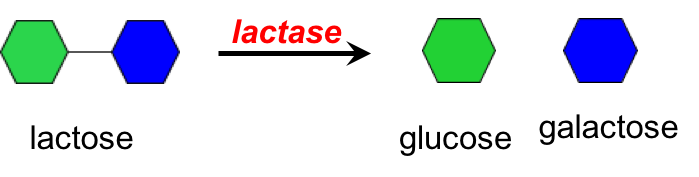 Illustration showing lactose (represented by a green hexagon linked to a blue hexagon) being broken into one glucose molecule and one galactose molecule by the enzyme lactase.