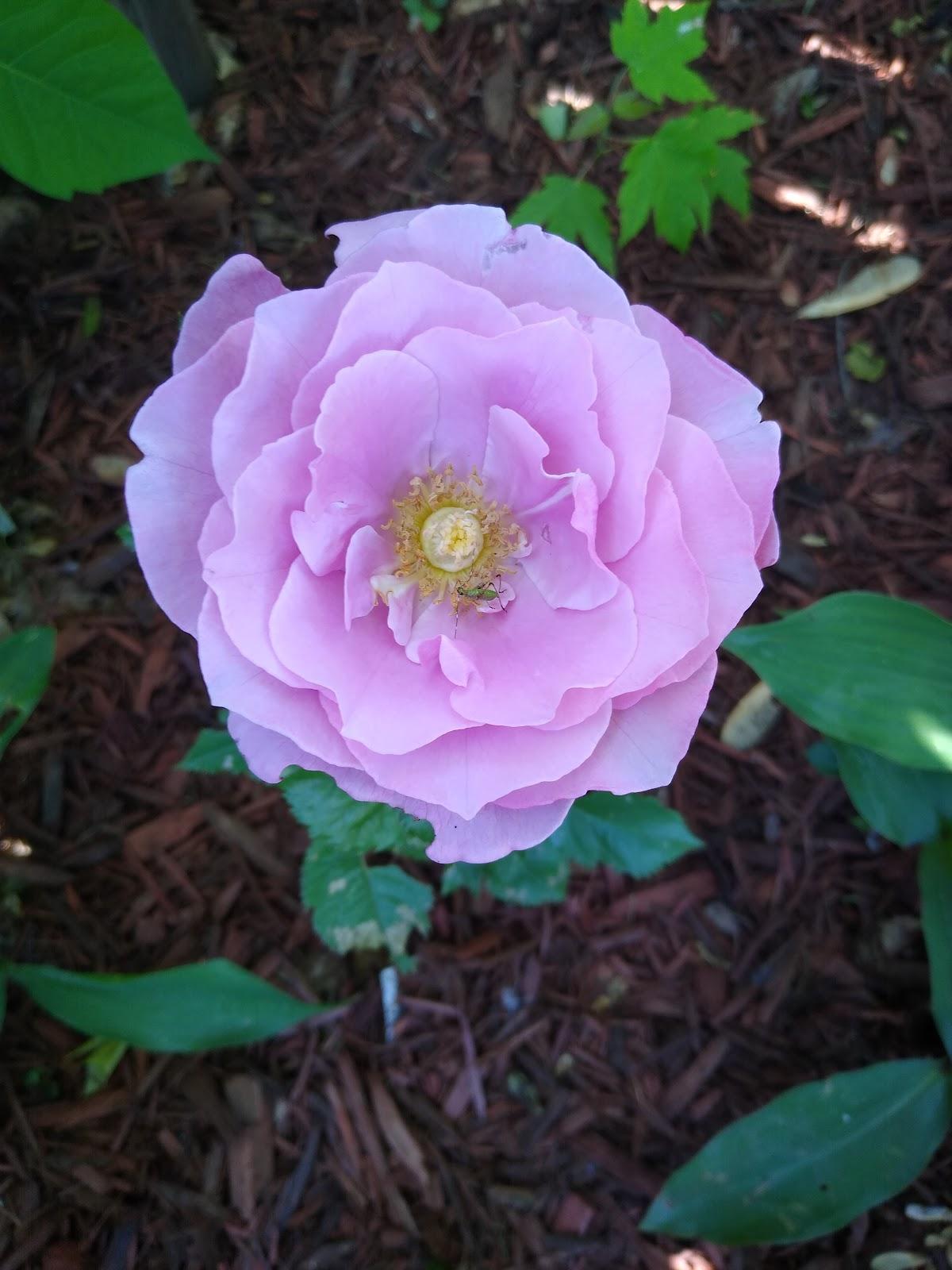 Barbra Streisand rose open picture