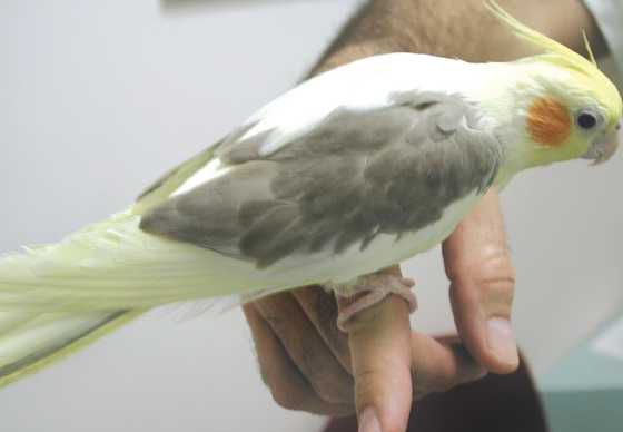 Pied-colored cockatiels are not as distinctly sexually dimorphic as normal grey cockatiels