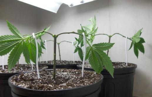 Main-lining: técnica avançada cultivo cannabis