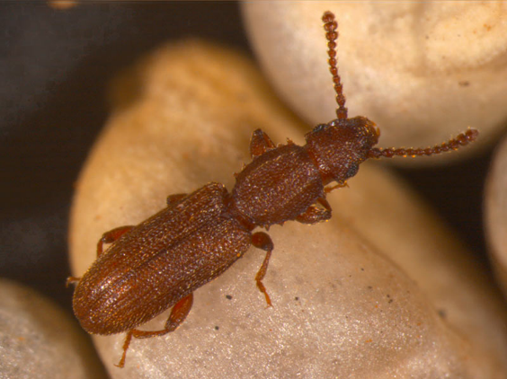 Pragas - Oryzaephilus surinamensis