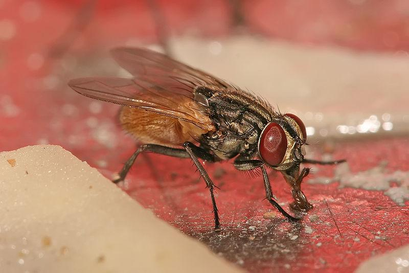 File:Musca domestica housefly.jpg