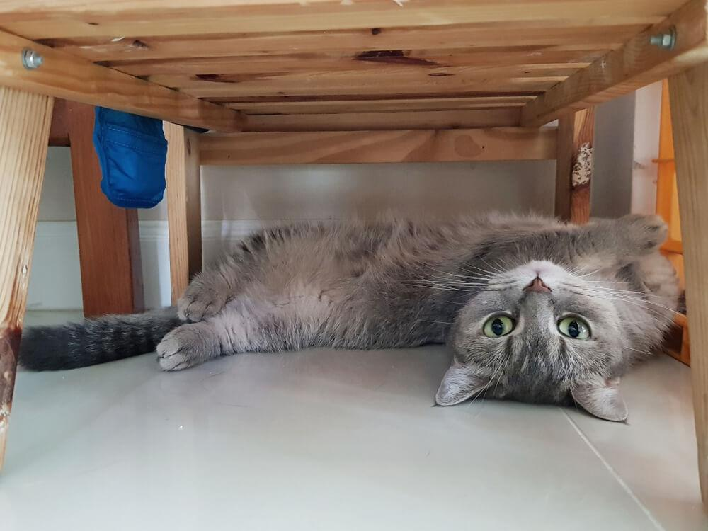 grey cat hides under the bed  from another cat
