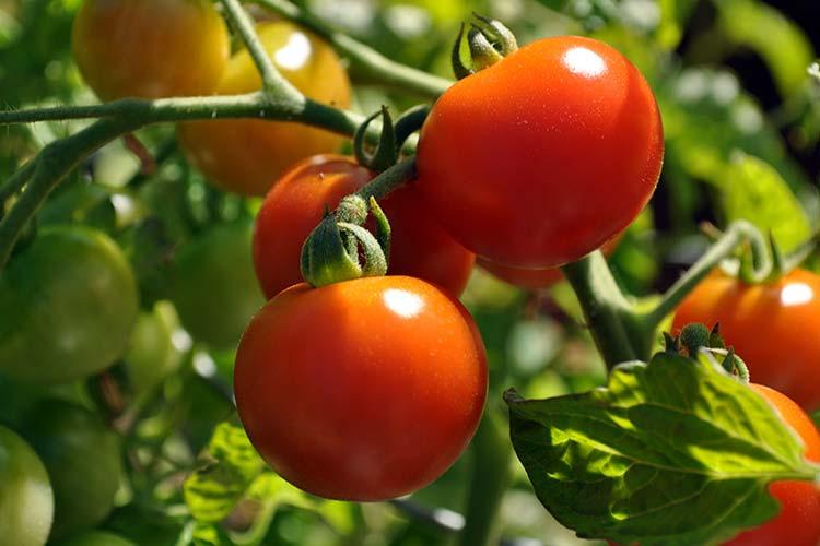 Что нужно знать об удобрении помидор
