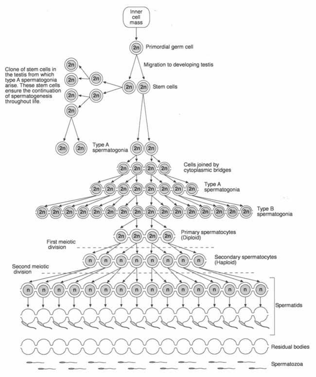 Representación esquemática de la espermatogénesis.