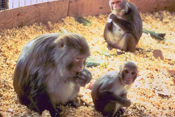 Rhesus monkeys foraging for food in enclosure [11].