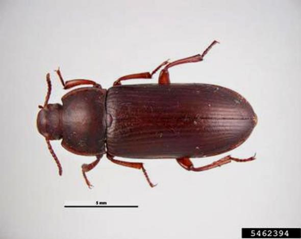 yellow mealworm, Tenebrio molitor  (Coleoptera: Tenebrionidae) - 5462394