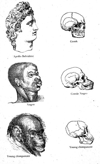 Pseudo-scientific depiction of the heads of a chimpanzee, an African, and the head of a Greek statue, with corresponding skulls.  It inaccurately depicts the skull of the African as being more similar to that of the chimp than the human being.