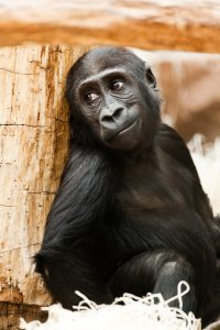 Gorilla's work with exotic animal vets