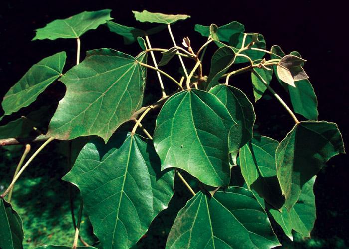 Aleurites leaves.