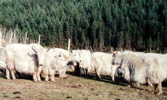 Tianzhu White Yaks: a unique yak breed in Tianzhu area of the Gansu Province of China.