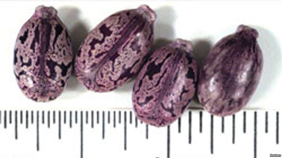 Семена клещевины, использующиеся для производства ядовитого вещества рицин