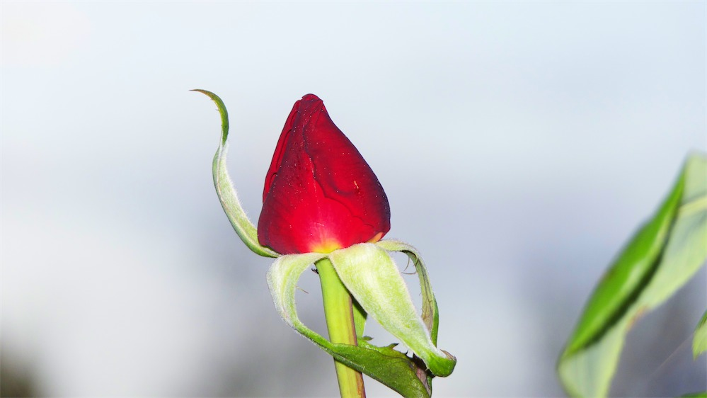 Rosebud Red.jpg