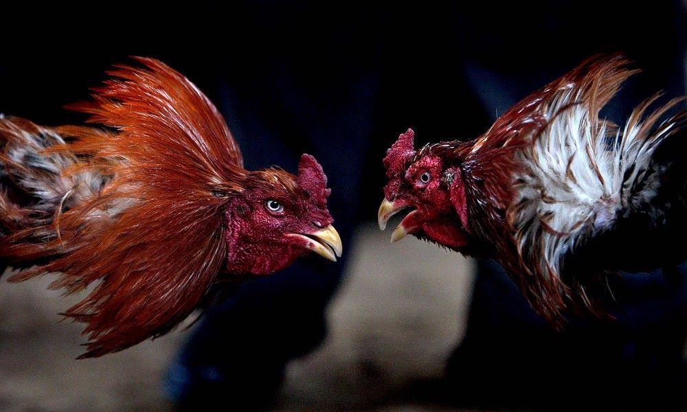 Kết quả hình ảnh cho Cá độ gà online uy tín