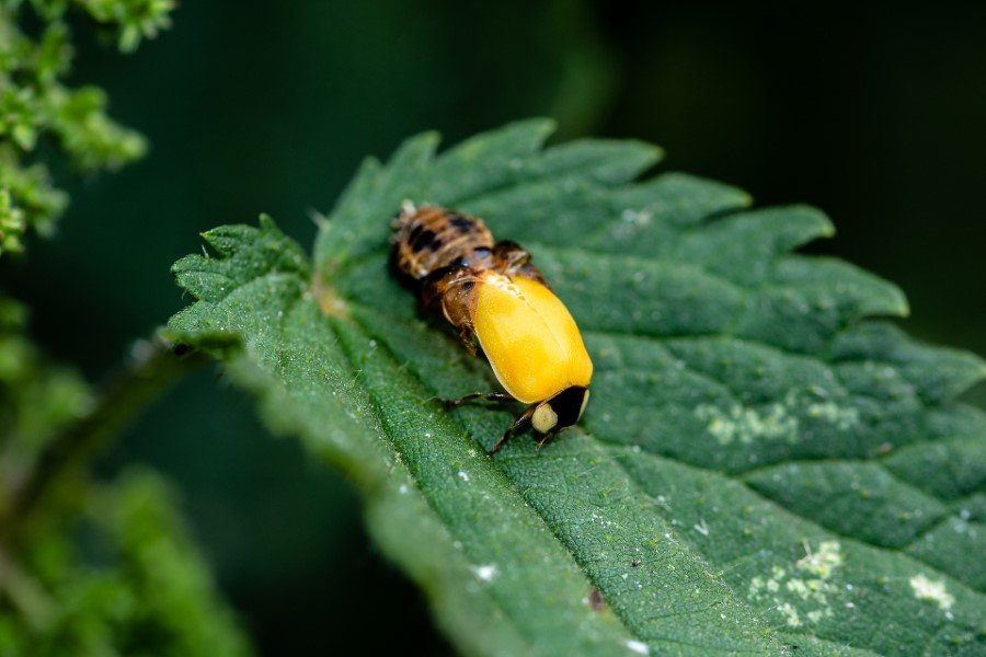 Yellow Ladybug A Helpful Guide On Which Type Or What Beetle It Is