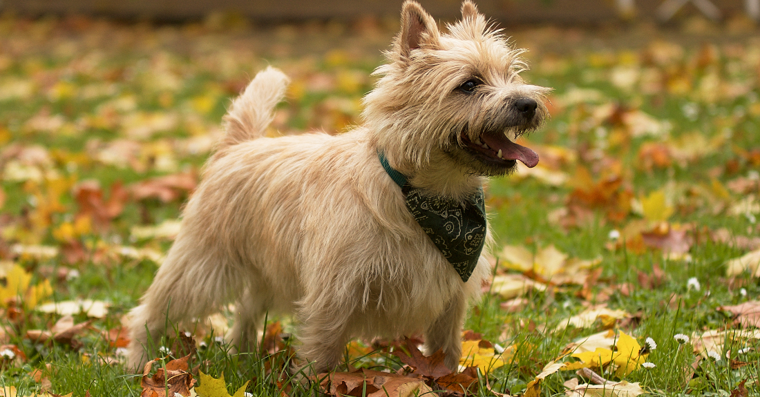 Cairn Terrier Dog Breed - Native Breed.org