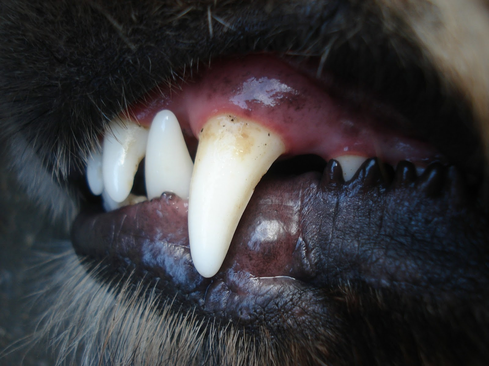 Close-up of dogs teeth.
