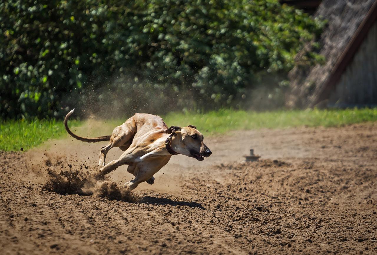 best dog breeds greyhound