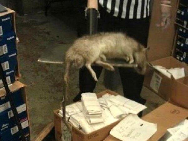 विशाल चूहे फुट लॉकर स्टोर में मारे गए।